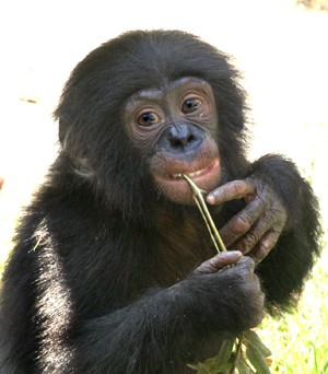 medium_bonobo_de_touraine.jpg